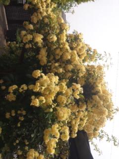 今年もきれいに咲いてくれました。